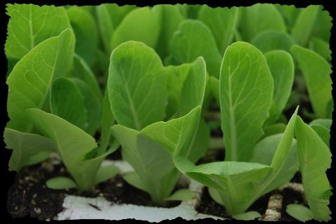 Vivai la malfa antonino piantine da orto piantine for Vendita piante orto