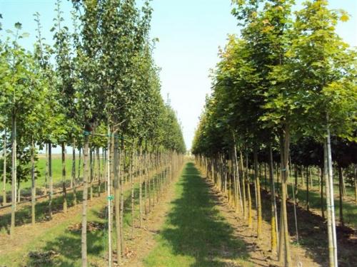 Vivaio le radici vendita piante ornamentali da siepe e for Vendita piante da giardino