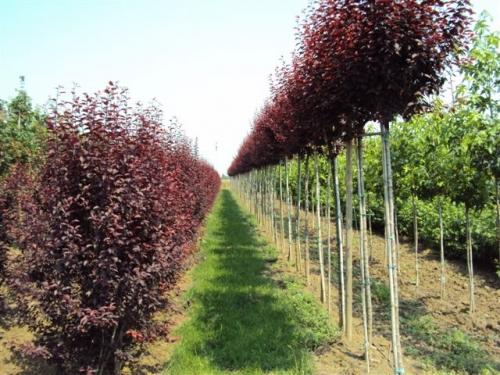 Vivaio le radici vendita piante ornamentali da siepe e for Vendita piante da frutto sardegna