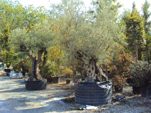 Vendita Piante Da Siepe : Vivaio le radici vendita piante ornamentali da siepe e