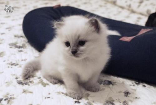Ragdoll cuccioli - Gatti in vendita e in regalo - Kijiji